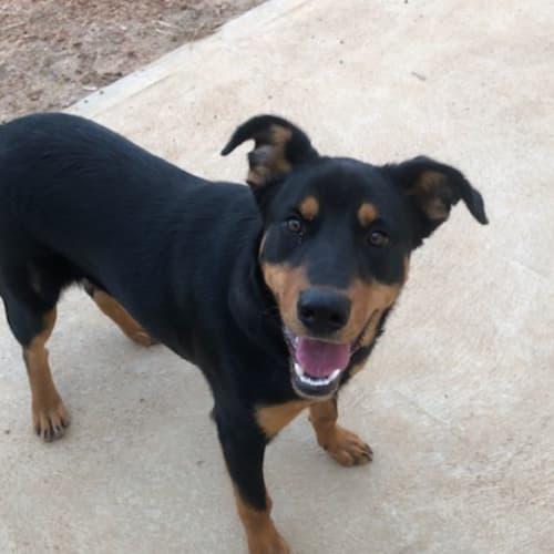 Russell  - Kelpie x Rottweiler Dog