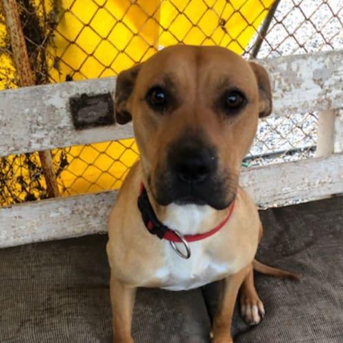 Pearl - Staffy x Cross breed Dog