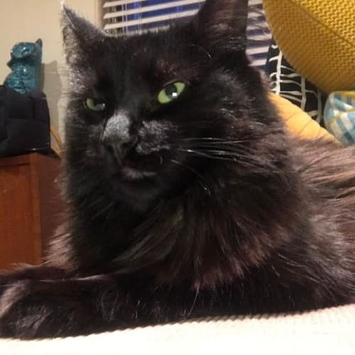 Goblin - Located in Carlton - Domestic Short Hair Cat