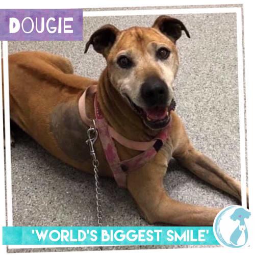 Dougie - Rhodesian Ridgeback Dog