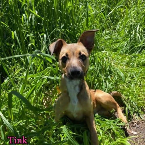 Tink - Kelpie x Staffy Dog