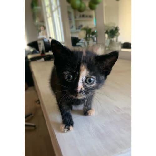 Shelby - Domestic Short Hair Cat