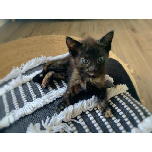 Lulu - Domestic Short Hair Cat