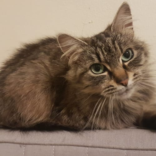 Keisha - Located in Murrumbeena - Domestic Medium Hair Cat