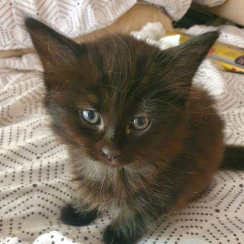 Sasha - Domestic Medium Hair Cat
