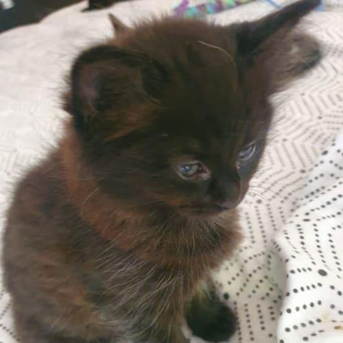Sasha and Tasha - Domestic Medium Hair Cat