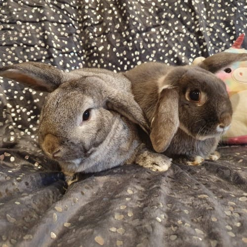 Agnes and Monty  - Lop Eared Rabbit