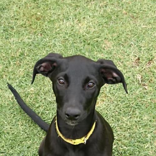 Betty - German Shorthaired Pointer x Greyhound Dog