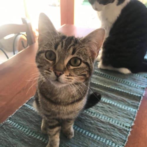 Belle - Domestic Medium Hair Cat