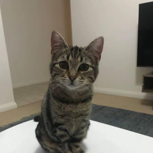 Belle & Narla - Domestic Medium Hair Cat