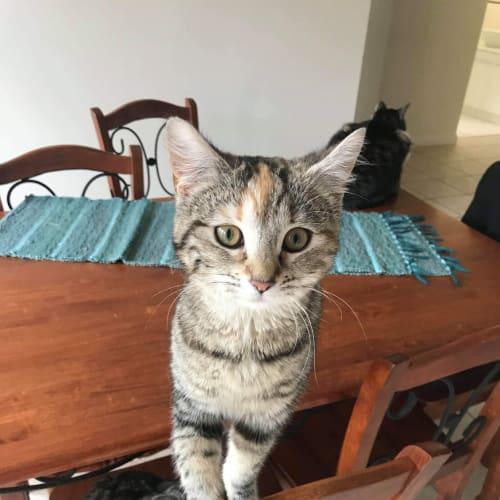 Narla - Domestic Medium Hair Cat