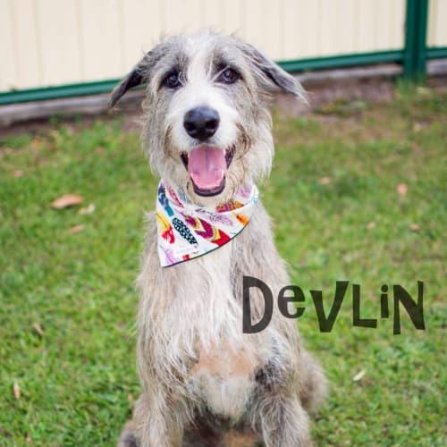 Devlin - Irish Wolfhound Dog