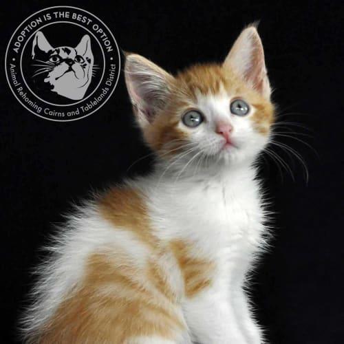 Nilla-Bean - Domestic Short Hair Cat