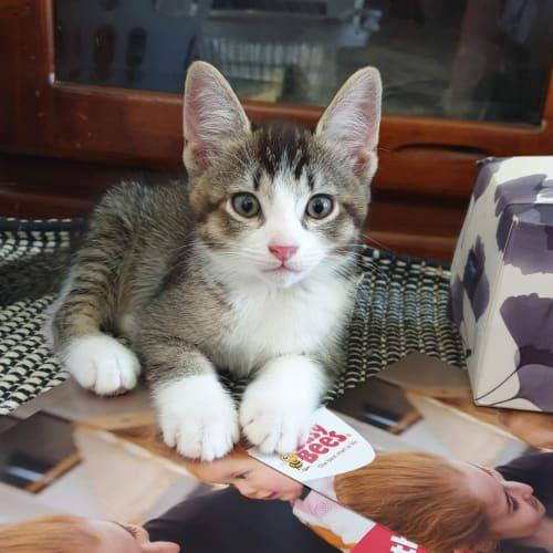 Gary - Domestic Short Hair Cat