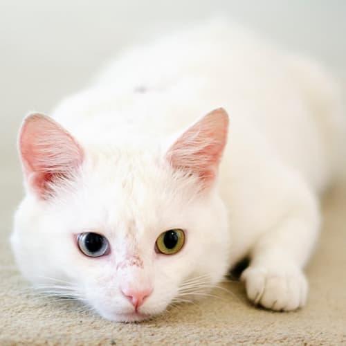 Arnold - Domestic Short Hair Cat