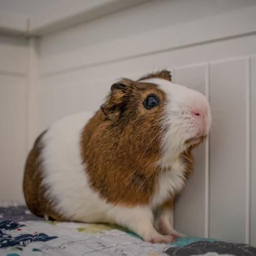 Binx -  Guinea Pig