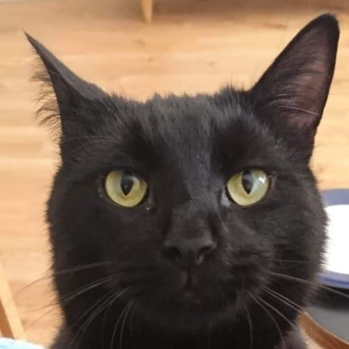 Jaxson (Located in Bentleigh) - Domestic Short Hair Cat