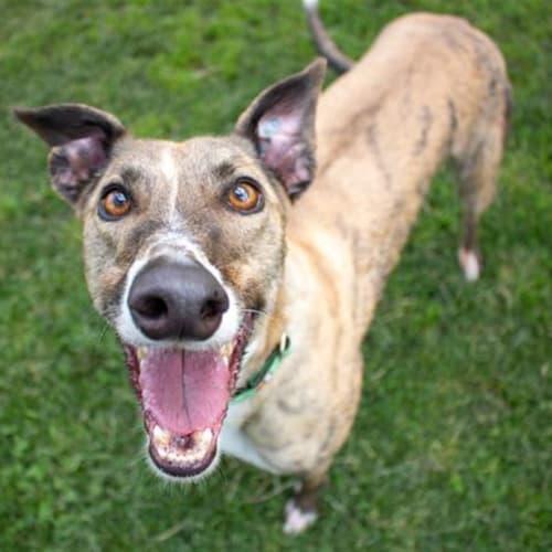 Oddball - Greyhound Dog