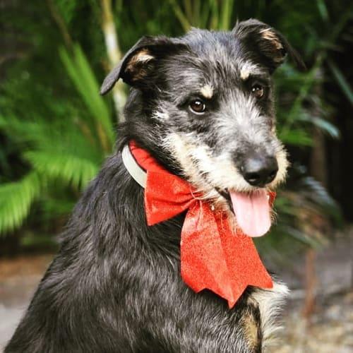 Carter - Irish Wolfhound x Kelpie Dog