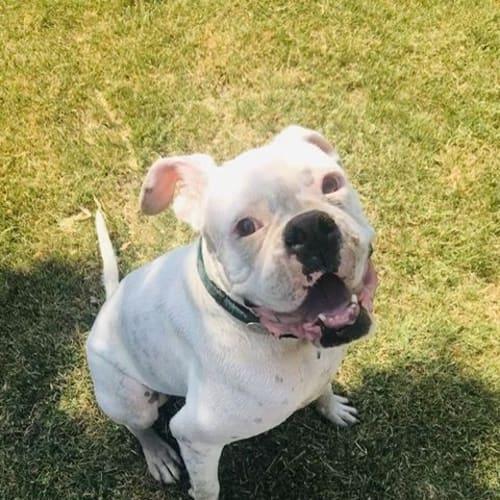 Hank - Boxer Dog
