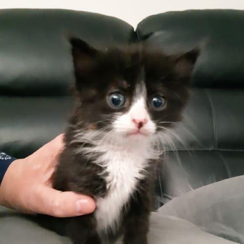 Murray - Domestic Medium Hair Cat