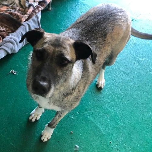 Betsy - 48255 - Staghound Dog