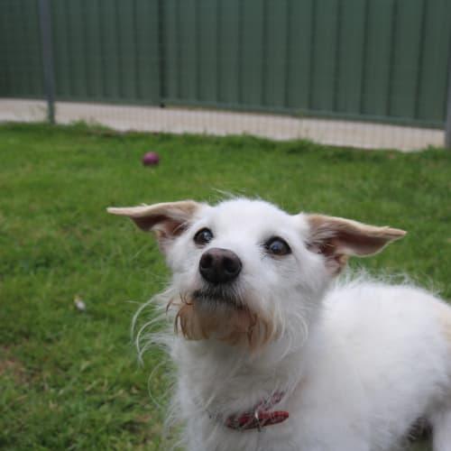 Bundy 929774 - Fox Terrier Dog