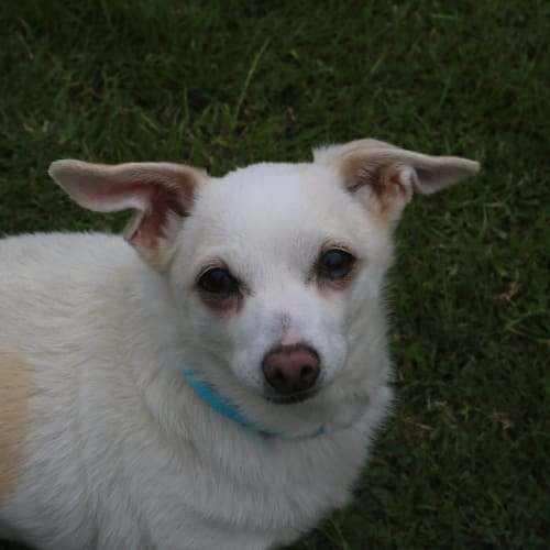 Lupin 929775 - Miniature Fox Terrier Dog