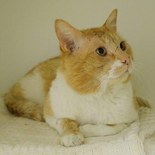 Dane SUA004494 - Domestic Short Hair Cat