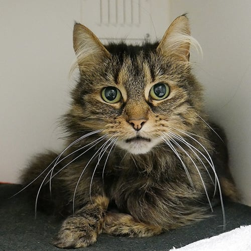 Bonnie SUA004478 - Domestic Medium Hair Cat