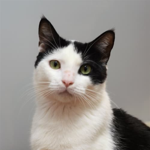 Richmond - Domestic Short Hair Cat