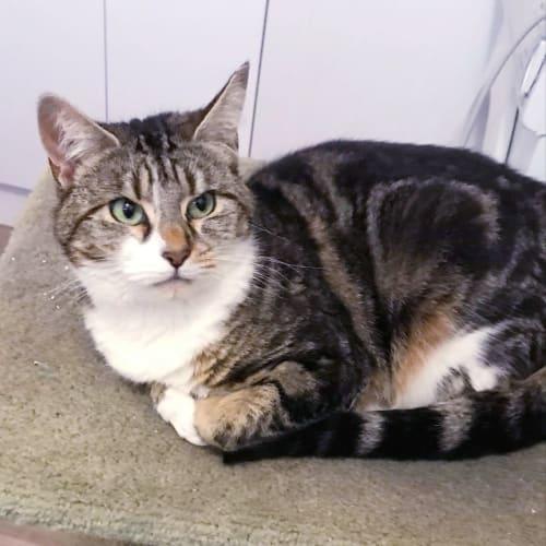 Kiki - Domestic Short Hair Cat