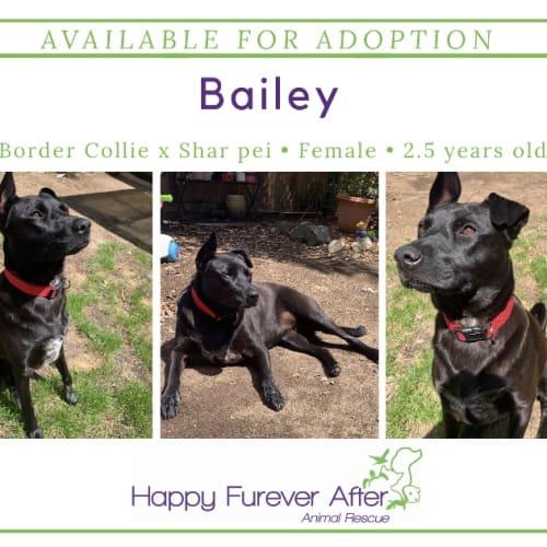Bailey - Border Collie Dog