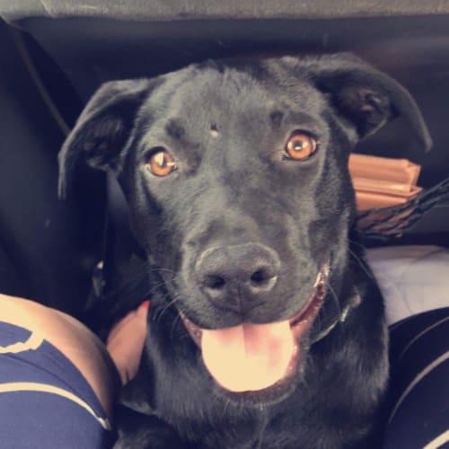 Gypsy - Rottweiler Dog