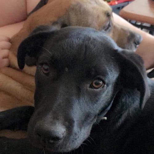 Gypsy - Rottweiler x Kelpie Dog