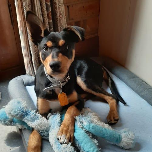 **On Trial** Duke - Kelpie Dog