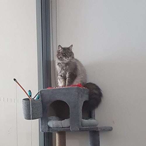 Pandora - Domestic Medium Hair Cat