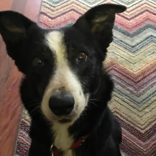 Rosie - Border Collie Dog