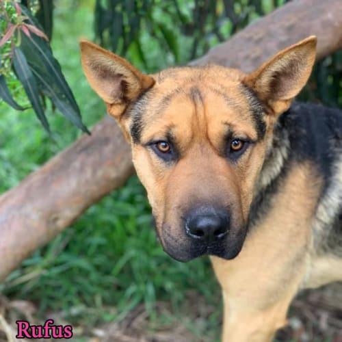Rufus - German Shepherd x Shar-Pei Dog