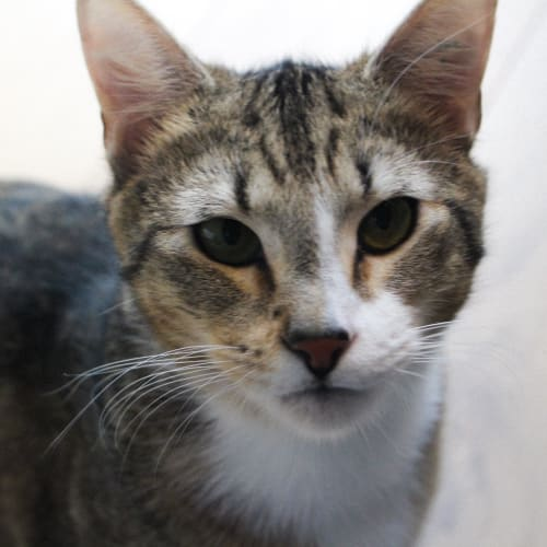Ned - Located in Northcote - Domestic Short Hair Cat