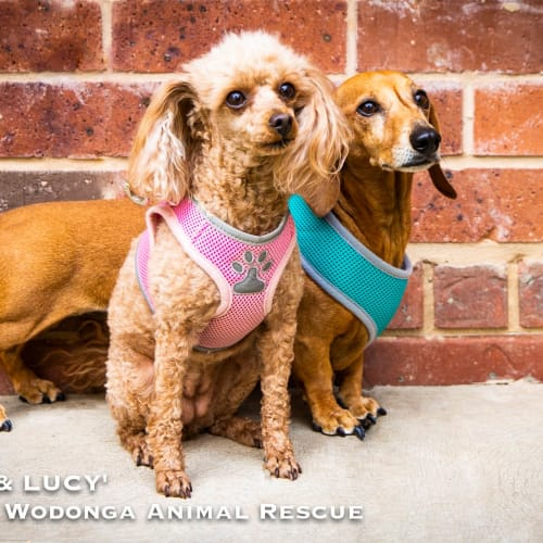 Alice and Lucy - Dachshund x Poodle Dog
