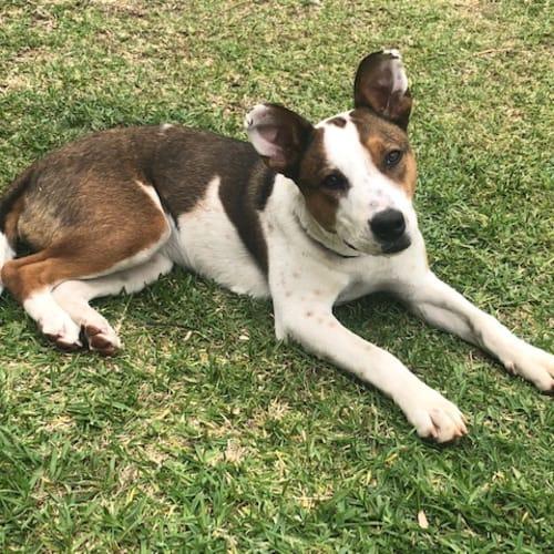 Sydney - Australian Cattle Dog