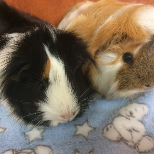 Lana and Leroy - Abyssinian Guinea Pig