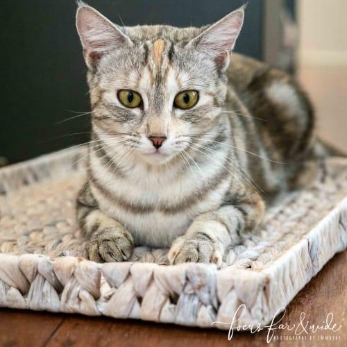 Zia - Domestic Short Hair Cat