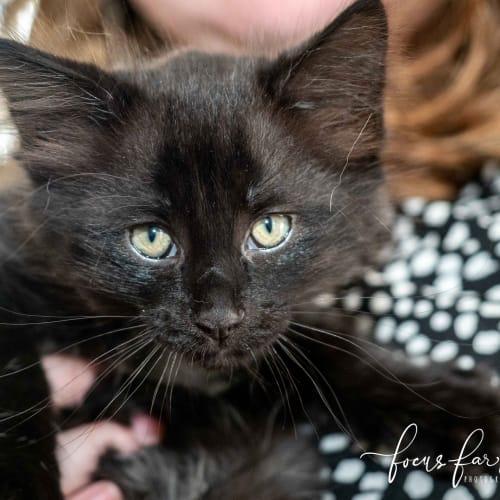 Obi - Domestic Short Hair Cat
