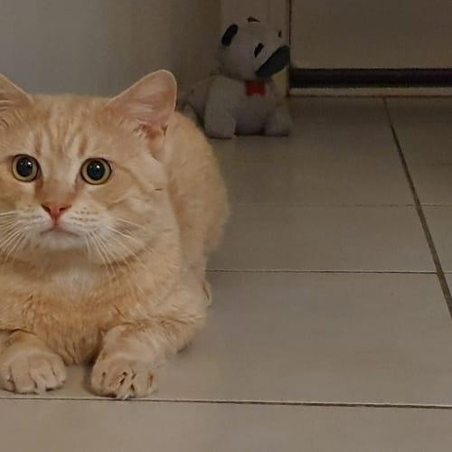 Blaze - Manx Cat