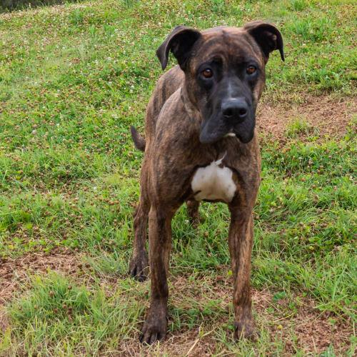 Ripley - Mastiff Dog
