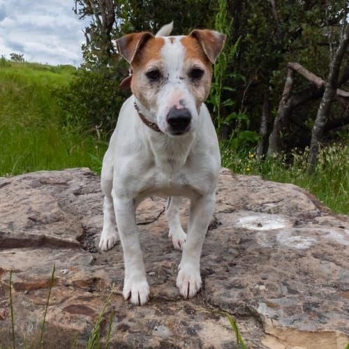 Victor - Jack Russell Terrier Dog
