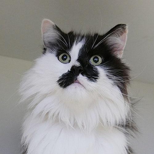 Larry SUA004497 - Domestic Long Hair Cat