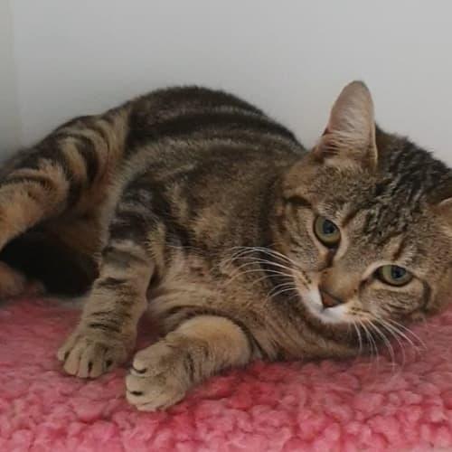 Isla - Domestic Short Hair Cat